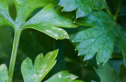 Macro close up of green fresh healthy parsley growing in garden as abstract background Royalty Free Stock Image