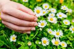 Macro close up of hand picking flowers. Royalty Free Stock Photography