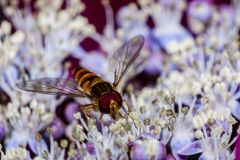 Hover / flower fly. Macro, close up image of hover fly / flower fly royalty free stock photos
