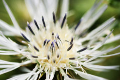 Macro - Close-up image of a white thistle flower Royalty Free Stock Image