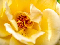 Macro close up inside of a yellow rose royalty free stock photo