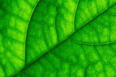 Green Leaf Veins Macro Closeup Stock Photos