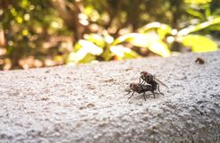 Mating Flies on Wall in the garden royalty free stock photography