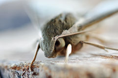 Macro close up moth face eyes and head Stock Photography