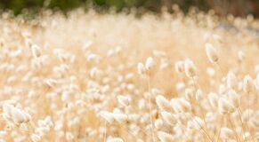 Free Macro Close Up Of Wild Grass Seed In Rural Countryside Stock Image - 211384741