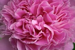 Macro close up peony flower. Petal blossom spring summer wedding decoration bouquet. Flowering paeony bright pink color. Garden design romantic background royalty free stock images