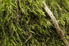Macro close-up photo of green moss. Royalty Free Stock Image