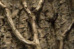 Macro close-up photo of a tree bark with vines. Royalty Free Stock Photo