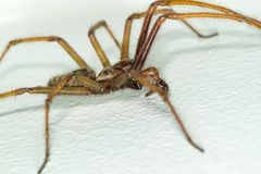 A big large male giant house spider on a white wall. A macro close-up picture of a big large male giant house spider on a white wall Royalty Free Stock Photo