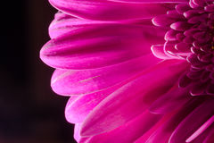 Macro Close-up of a Pink Chrysanthemum Flower. Macro closeup details of a pink Chrysanthemum flower with petals in full bloom Stock Image