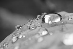 Macro close up of pure rain drops on leaf with venation zen background in black and white. Contrast Royalty Free Stock Photography