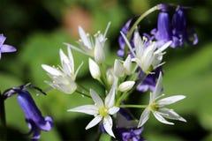 Wild ramsons, wild garlic royalty free stock photography