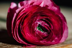 Macro Close up of a Ranunculus. Daylight in a flower shop. Royalty Free Stock Images