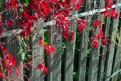 Red grape leaves. Macro close up red grape leaves on a wooden fence royalty free stock images