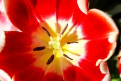 Macro close-up of red tulip with yellow center with in focus stamen and softer flower filling up most of frame - colorful and beau. A Macro close-up of red tulip stock image