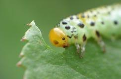 Macro close up sawfly caterpillar on rose bush photo taken in the UK royalty free stock photography