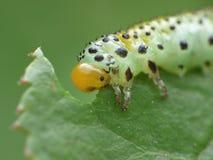 Macro close up sawfly caterpillar on rose bush photo taken in the UK royalty free stock photo