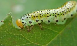 Macro close up sawfly caterpillar on rose bush photo taken in the UK stock photos