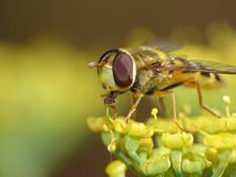 Macro close up shot of a hoverfly collecting pollen from the garden, photo taken in the UK royalty free stock image