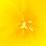 Macro close up shot of yellow tulip Royalty Free Stock Images