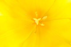 Macro close up shot of yellow tulip Royalty Free Stock Photo