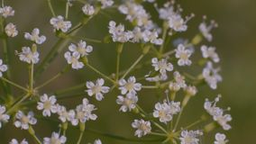 Macro Close-up of Small White Flowers Growing on a Glade in the Forest stock footage