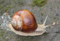 Snail, gastropod mollusk with a spiral shell and close up. Side view. Macro close up of a Snail, gastropod mollusk with a spiral shell crawls on the pavement royalty free stock photos