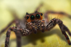 Macro close-up Spider Stock Images