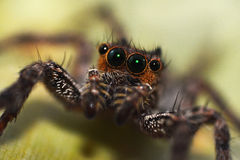 Macro close-up Spider Royalty Free Stock Images