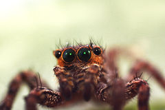 Macro close-up Spider Royalty Free Stock Photography