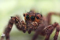 Macro close-up Spider Royalty Free Stock Image