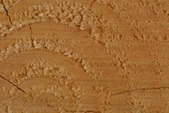 A macro photo of a freshly cut tree, showing texture of the wood. Soft warm colours of the wood and fine details of its structure. Macro; close-up; structure royalty free stock photo