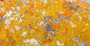 Macro close-up texture of yellow and orange lichen. Growing on coastal rocks and boulders on a beach in Cape Town South Africa stock image