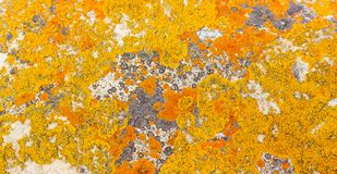 Macro close-up texture of yellow and orange lichen royalty free stock photos