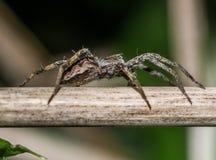 Macro-close-up van 6mm kleine spin in het gras wordt geschoten dat Royalty-vrije Stock Fotografie