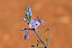 Veronica anagallis-aquatica , water speedwell flower , flora Iran