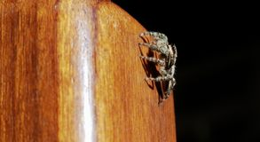 Jumping spider on a wooden chair leg royalty free stock photo