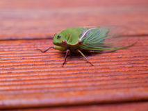 Macro close up view of a Cicada Royalty Free Stock Image