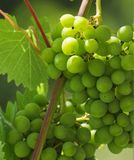 A macro close up view of green grape in the vineyard exposed to the sunrays stock photography