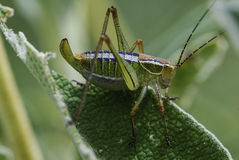Macro close up view of a large grasshopper Stock Photos