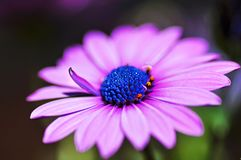 Macro close-up violet purple African Cape osteospermum daisy flower. A macro or micro close-up of a beautiful vivid violet or purple spring African daisy flower royalty free stock image