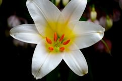 Macro close up of white lily flower in full blossom. Singapore - May 26, 2016: A close up macro shot of a lily with white petals and yellow internal coloring Stock Image