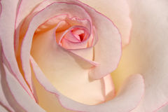 Macro close up of white and pink rose petal in sunlight Royalty Free Stock Photo