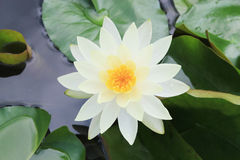 Macro close up white yellow lotus flower or weter lilly Stock Photography
