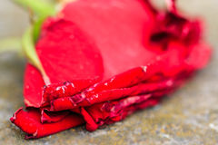 Macro close-up of withering dying red rose. On ground using selective focus Royalty Free Stock Image