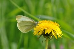 Butterfly and dandelion. Macro close up of a yellow cabage butterfly feasting on pollen from dandelion flower Stock Photo