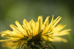 Macro close up of yellow dandelion head petals in sunlight isolated, springtime. Macro close up of yellow dandelion head petals in sunlight isolated stock photo