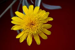 Macro close up of yellow flower in full blossom. Singapore - May 26, 2016: A macro close up photo of a yellow flower in full bloom with all petals open Royalty Free Stock Photography