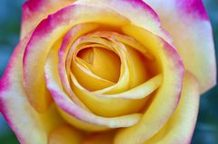 Macro close up of yellow rose with bright pink variegated tips on flower petals stock images