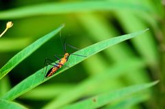 Macro closeup of assassin bug Stock Photos